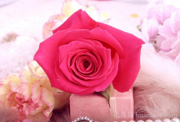粉红色玫瑰花语 粉红色玫瑰代表什么